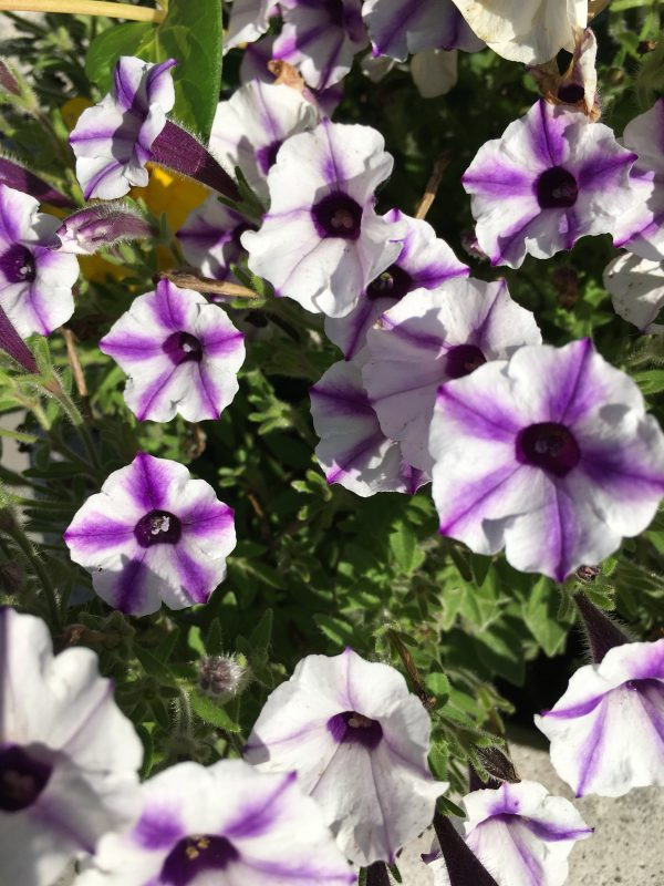 purple and white petunia flowers