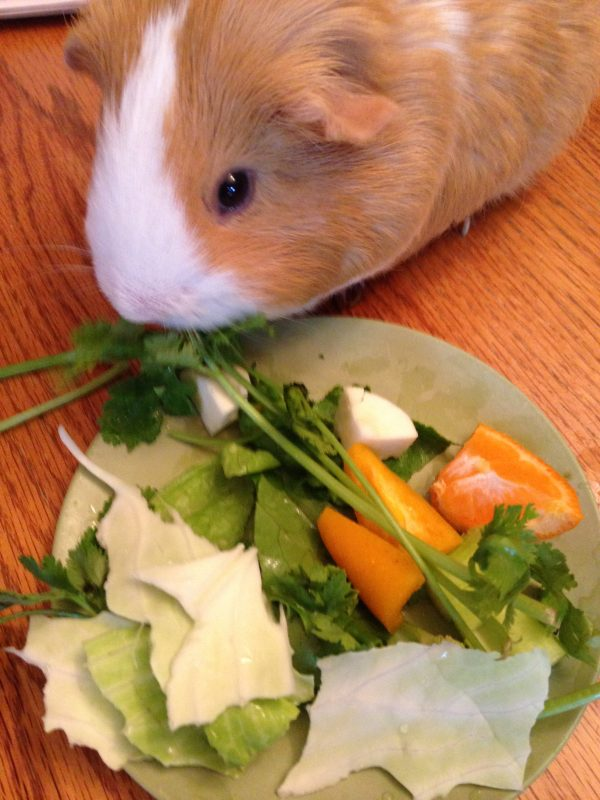 Butterscotch with Morning Salad. Fun with guinea pigs as pets. Feed them lots of veggies and fruits and have fun watching them enjoy.