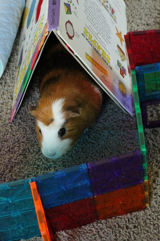 Guinea pigs as pets and fun activities