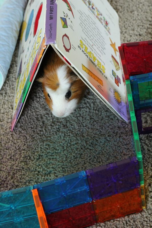 Twix the giunea pig coming through the book tunnel obstacle course activities to do with guinea pigs as pets