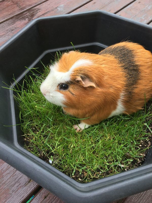 Twix the guinea pig in a pot of planted grass