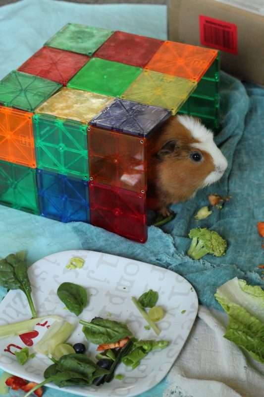 Twix the guinea pig in the obstacle course