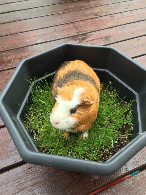 guinea pig in a grass pot