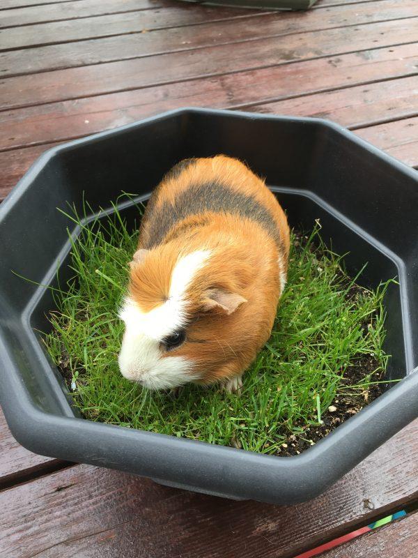 guinea pig in a pot of grass
