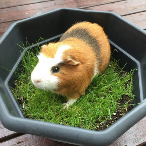 Fun Things to do with Guinea Pigs as Pets