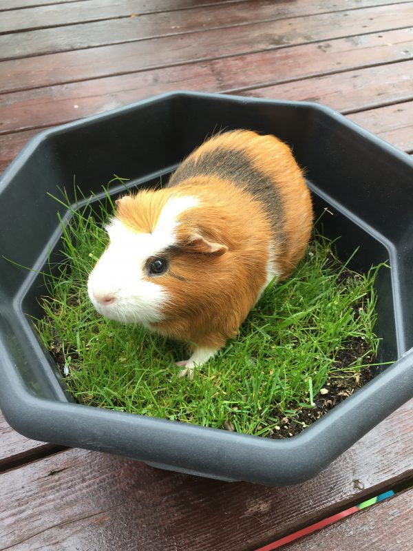 guinea pig in pot with planted grass