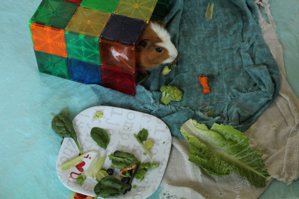 guinea pig obstacle course with vegetables