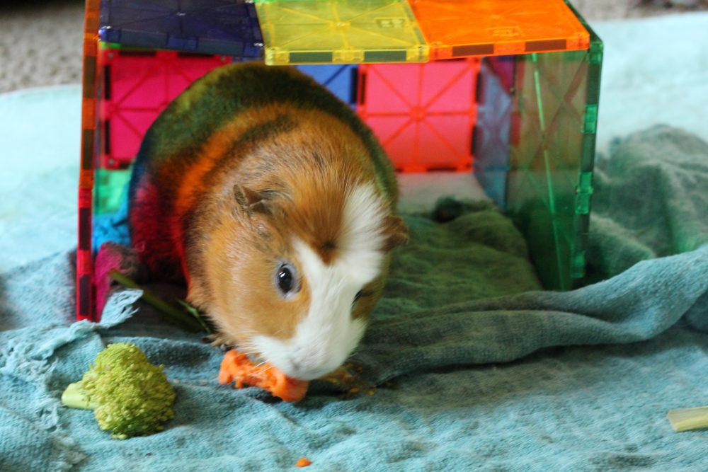 guinea pig obtacle course and hangout room with veggies guinea pigs as pets