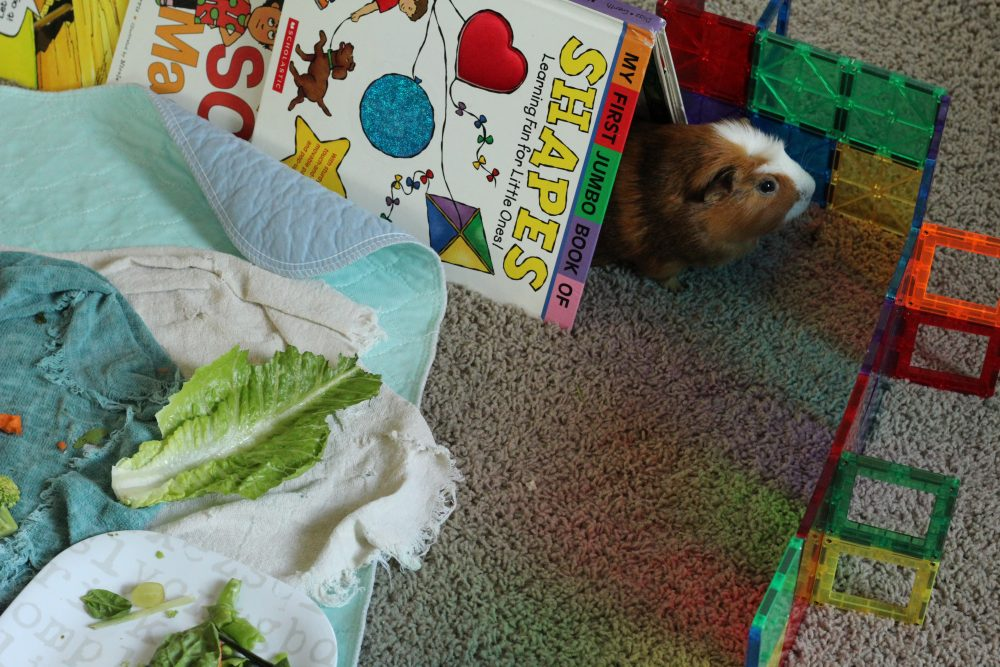 obstacle course for guinea pigs fun with guinea pigs as pets