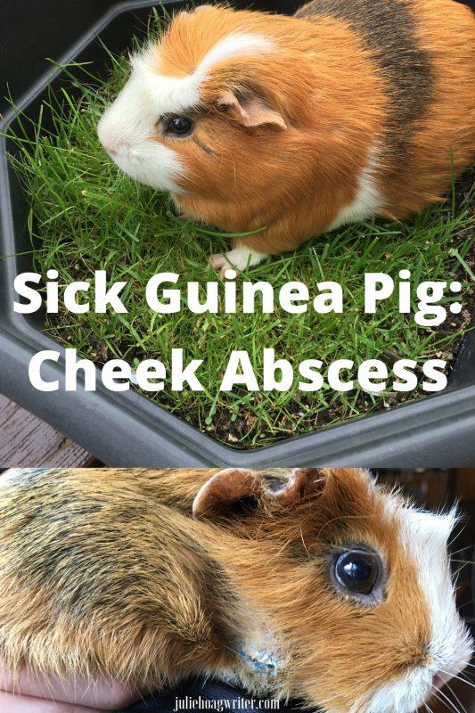 Sick Guinea Pig_ Cheek Abscess