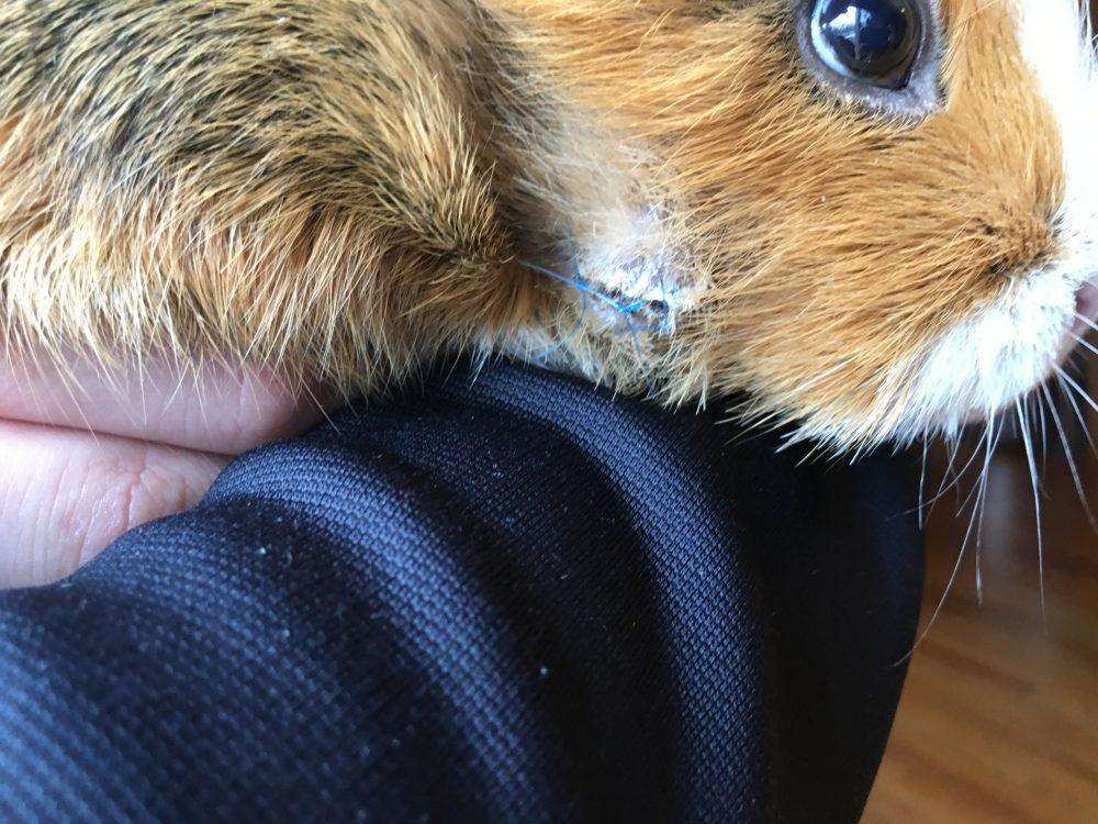 Sick guinea pig cheek abscess treatment