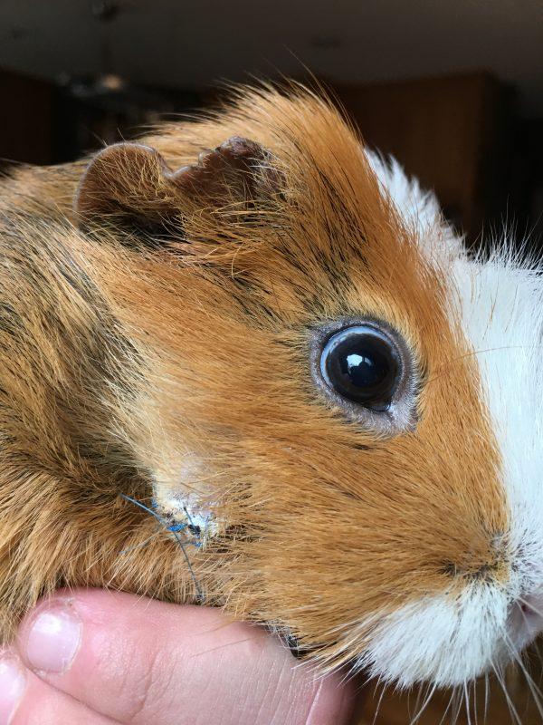 sick guinea pig antibiotic treatment