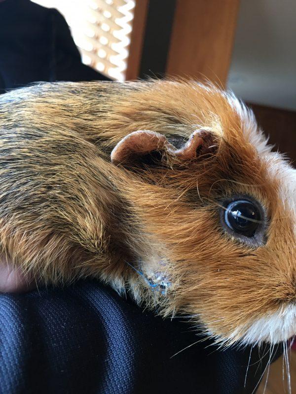 sick guinea pig tips for a cheek abscess