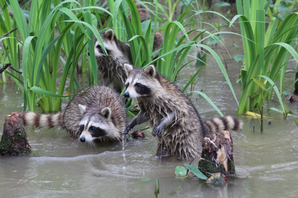 raccoons on the swamp tour