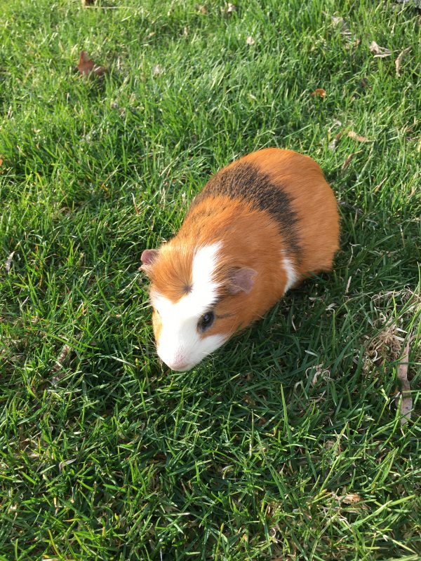 Twix eating grass in recovery for his abscess.
