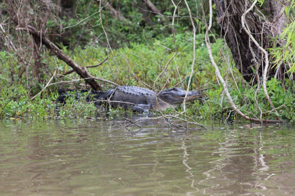 alligator on swamp tour