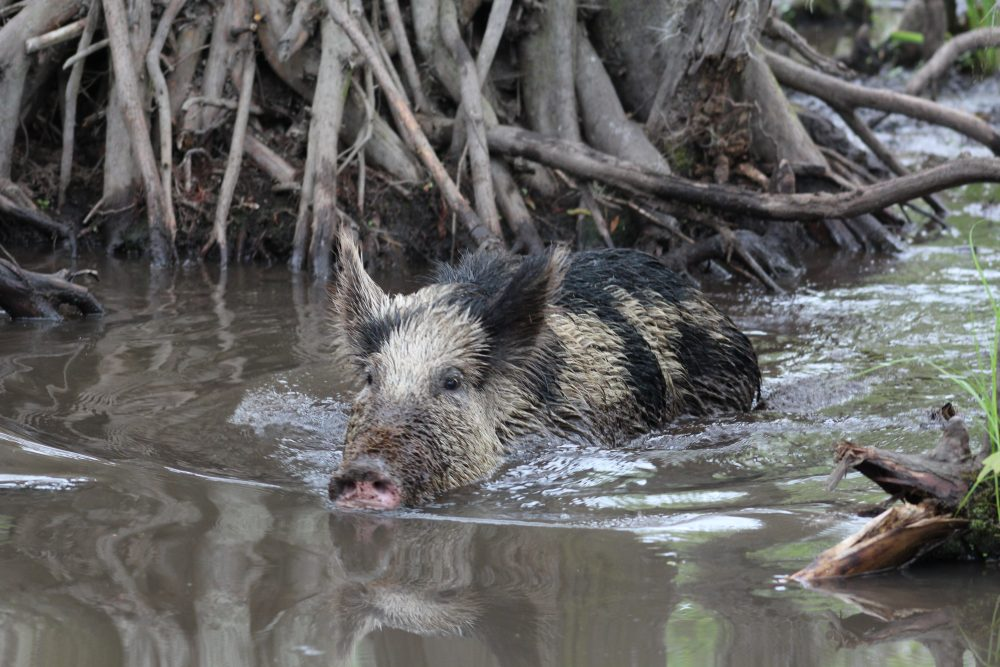 Peppa the wild boar on the swamp tour