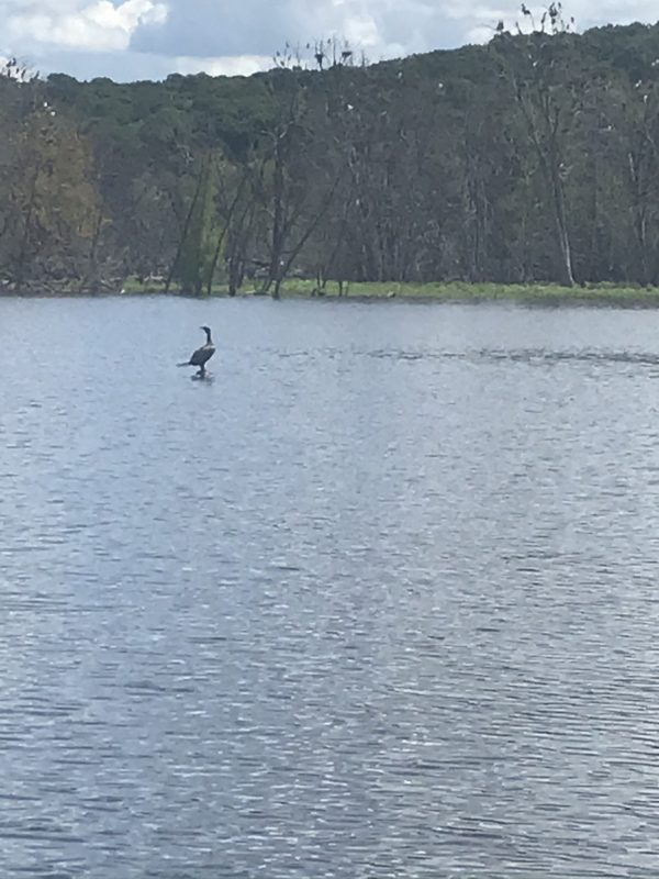 Loon on the St Croix River